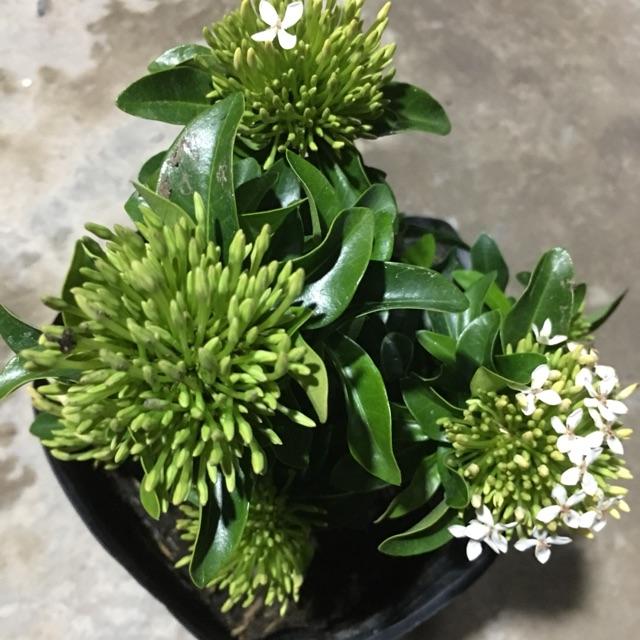 cay hoa mau don ta