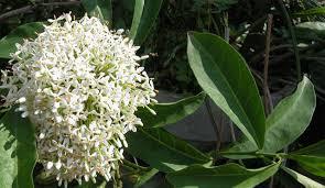 Giá cây hoa mẫu đơn trắng , cây mẫu đơn ta , cách trồng cây bông trang