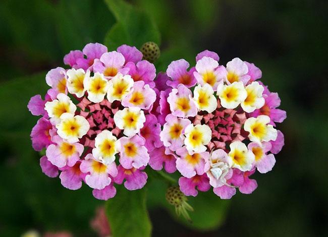 cay hoa ngu sac rung