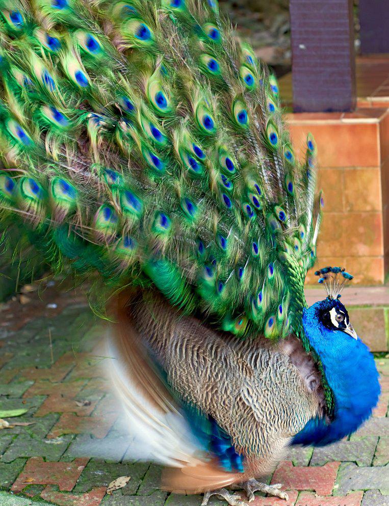 Chim công loài chim đẹp ngất ngây
