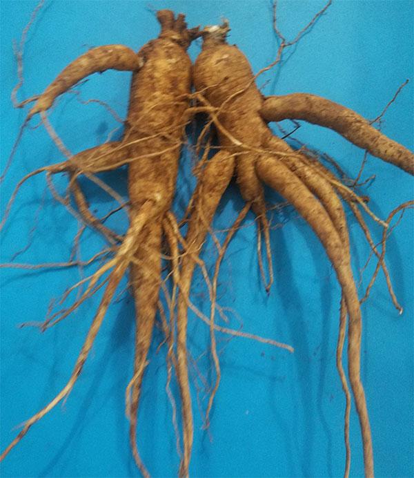 Cây sâm bố chính trồng bao lâu thì thu hoạch