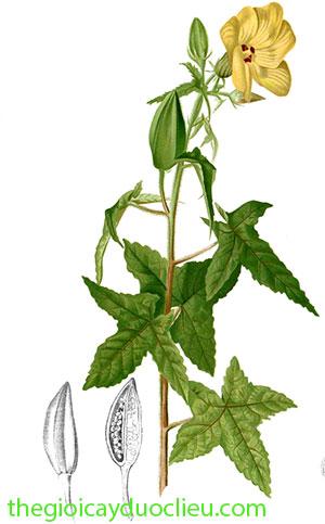 cây bông vang chữa bệnh gì