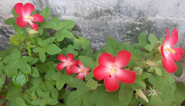 lá hoa sâm bố chính