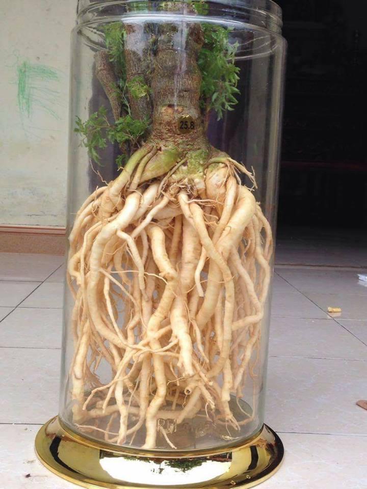 Tác dụng của rễ cây đinh lăng